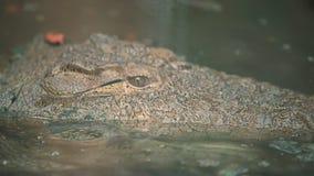 Amerykański aligator cichy na staw wodzie, Ameryka zdjęcie wideo