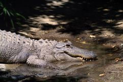 Amerykański aligator, czasem nawiązywać do colloquially jako gator fotografia royalty free