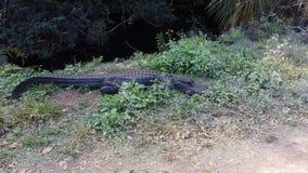 Amerykański aligator przy błota parkiem narodowym w Floryda zdjęcie wideo