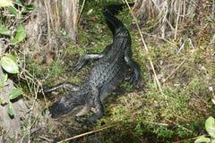Amerykański aligator Sunning jeziorem zdjęcia stock
