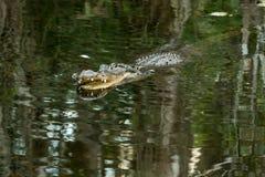 Amerykański aligator w Floryda błotach obraz stock