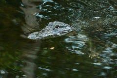 Amerykański aligator w Floryda błotach Fotografia Stock