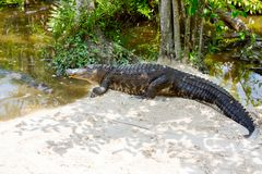 Amerykański aligator w Floryda bagna Błota park narodowy w usa Zdjęcia Royalty Free