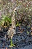Amerykański bąk w wiosny stać wysoki na błocie obrazy stock