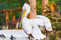 Amerykański Biały Gigantyczny pelikana ptak zdjęcia stock