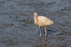 Amerykański Biały ibis 2 Zdjęcie Stock