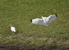 Amerykański Biały ibis Zdjęcia Stock
