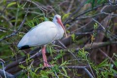 Amerykański Biały ibis (Eudocimus albus) Zdjęcie Stock