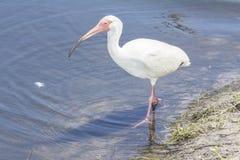 Amerykański Biały ibis W Floryda zdjęcia royalty free