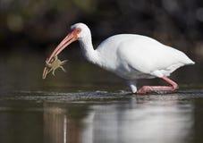 Amerykański biały ibisa Eudocimus albus odprowadzenie z crabin swój belfer w stawie przy fortu Meyers plażą obraz royalty free