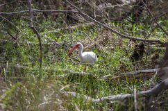 Amerykański Biały ibisa ptak, Okefenokee bagna obywatela rezerwat dzikiej przyrody Zdjęcia Stock
