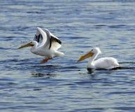 Amerykański Biały pelikan na Mississippi Obraz Royalty Free