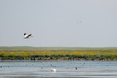 Amerykański Biały pelikan (Pelecanus erythrorhynchos) Zdjęcia Royalty Free