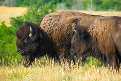 Amerykański bizon, żubr, byk, krowa zdjęcie stock