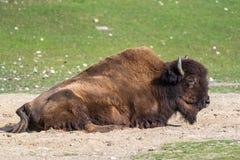 Amerykański bizon znać jako żubr, Bos żubr w zoo zdjęcia stock