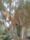 Amerykański Bobtail kot zdjęcia stock