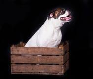 Amerykański buldog na czarnym tła zwierzęciu domowym w pudełku fotografia stock