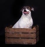 Amerykański buldog na czarnym tła zwierzęciu domowym w pudełku zdjęcie royalty free