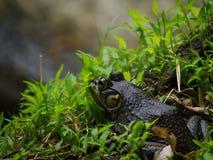 amerykański bullfrog Zdjęcie Stock