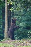 Amerykański Czarnego niedźwiedzia Scratcing plecy Zdjęcie Stock
