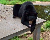 Amerykański czarny niedźwiedź  Obraz Royalty Free