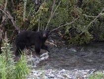 Amerykański Czarny niedźwiedź Obrazy Stock