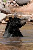 Amerykański czarny niedźwiedź siedzi w rzece Fotografia Stock
