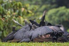Amerykański Czarny sęp - Coragyps atratus fotografia royalty free