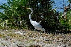 amerykański ibisa white Obrazy Stock