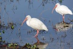 amerykański ibisa white Fotografia Royalty Free