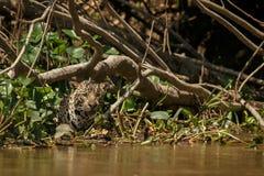 Amerykański jaguar w ciemności brazylijska dżungla Zdjęcie Royalty Free