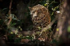 Amerykański jaguar w ciemności brazylijska dżungla Zdjęcia Stock