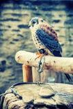 Amerykański kestrel obsiadanie na żerdzi (Falco sparverius) Zdjęcie Stock