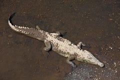 Amerykański krokodyl Obraz Stock