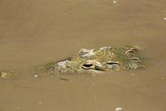 Amerykański krokodyl (Crocodylus acutus) Obrazy Royalty Free
