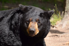 amerykański niedźwiadkowy czarny ursus Fotografia Royalty Free
