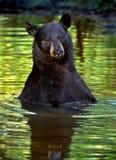 amerykański niedźwiadkowy czarny ursus Obrazy Royalty Free