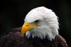 amerykański orzeł łysy Zdjęcie Stock