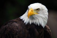 amerykański orzeł łysy Zdjęcie Royalty Free