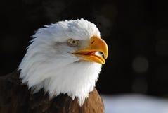 amerykański orzeł łysy obrazy royalty free