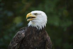 Amerykański Orzeł Fotografia Royalty Free