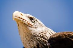 Amerykański orzeł twarzy wyrażenie Zamyka w górę dolnego widoku zdjęcia royalty free