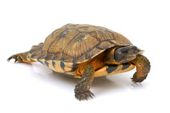 amerykański północny żółwia drewno Zdjęcia Royalty Free