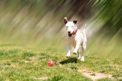 Amerykański pit bull teriera bieg łapać piłkę Zdjęcie Royalty Free