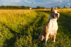 Amerykański pit bull Terrier w żółtym kolorze w naturze siedzi na trawie zdjęcie royalty free