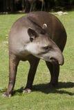 amerykański południowy tapir Zdjęcie Stock
