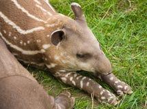 amerykański południowy tapir Fotografia Stock