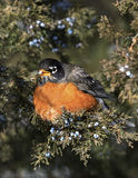 Amerykański rudzik (Turdus migratorius) Zdjęcie Stock