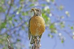 Amerykański rudzik (Turdus migratorius) Fotografia Stock