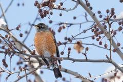 Amerykański rudzik umieszczał w drzewie w zimie zdjęcie stock